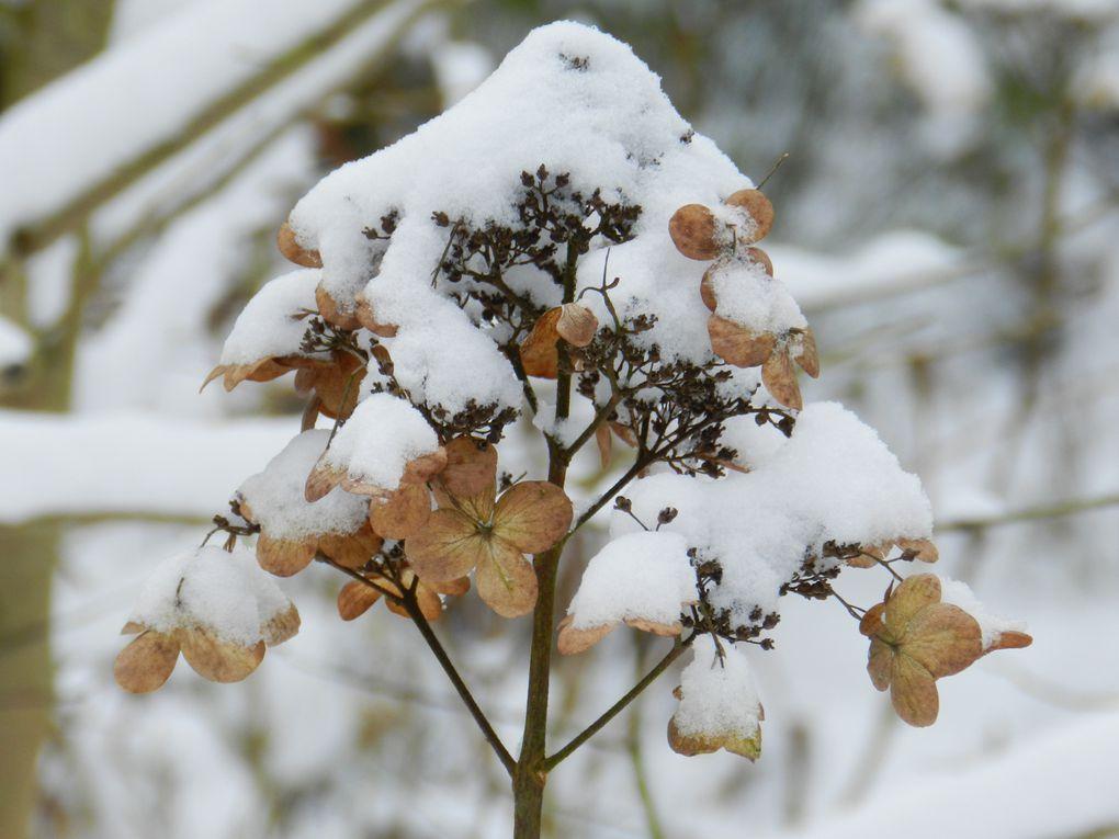 inflorescences d' hydrangéas sous la neige...(les charmes de l'hiver sur le jardin endormi...)