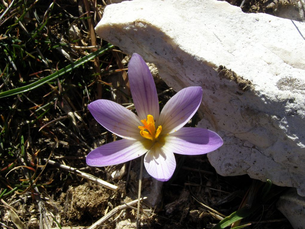 CROCUS MESSAGER du PRINTEMPS