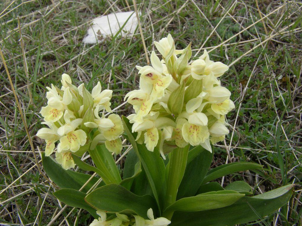 ORCHIS et ORCHIDEES de nos forêts et alpages ... photos BJ(C)