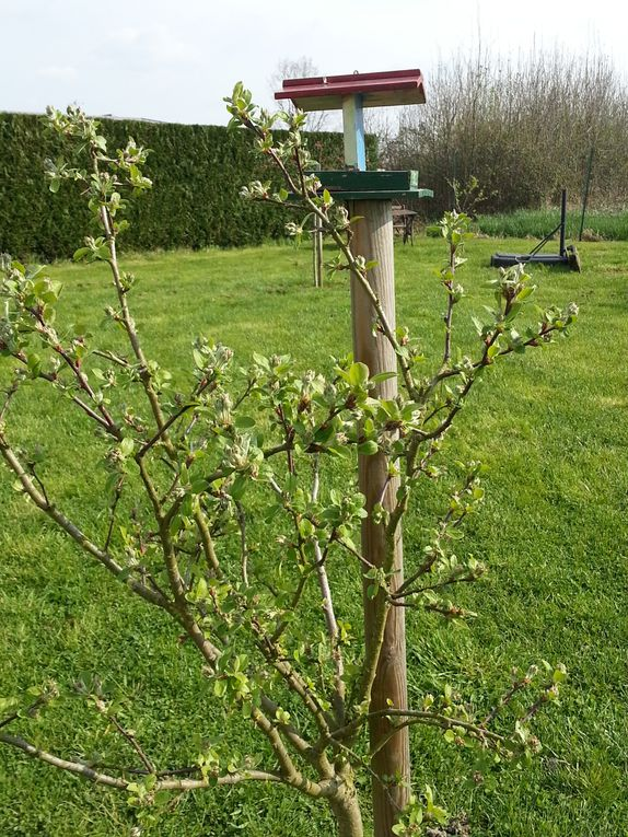 Lilas double - Mirabellier de nancy - Prunus - Malus Everest -