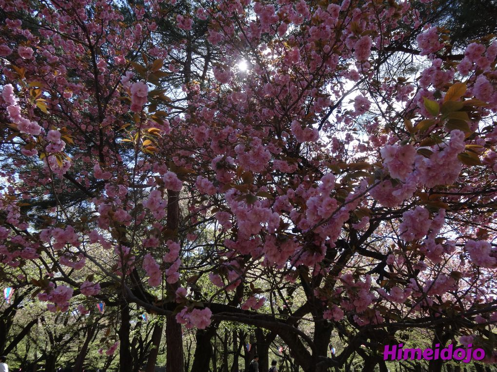 Sakura, les cerisiers en fleurs
