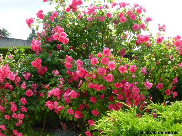 Le club des cinq rosiers résistants à la pluie