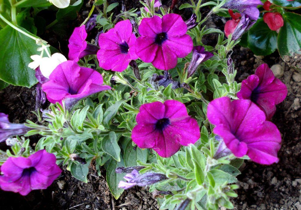 Quelques fleurs du jardin. CLIC.