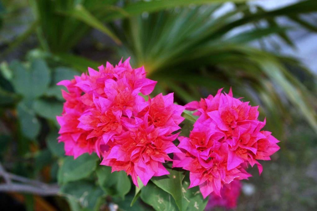 Bougainvillier rose et Allamanda monettes... Automatic slideshow... (8 views)