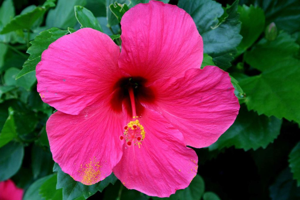 Variétés d'hibiscus... Automatic slideshow... (10 views)
