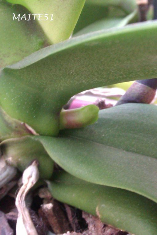Une orchidée me refait 2 branches.  Le Stéphanotis fait une drôle de boule...Un fruit ????
