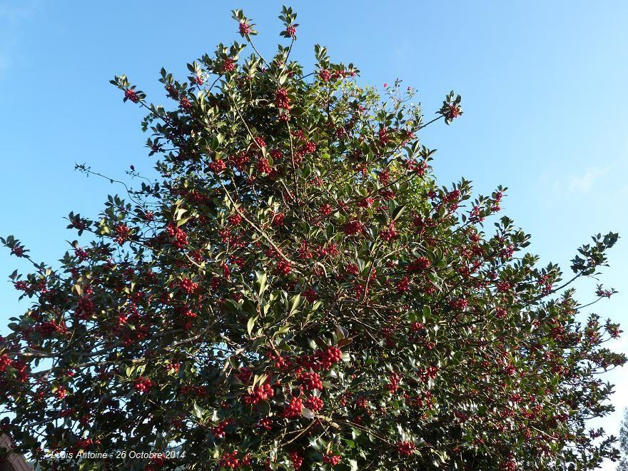 Cette année les houx sont particulièrement chargés de boules rouges