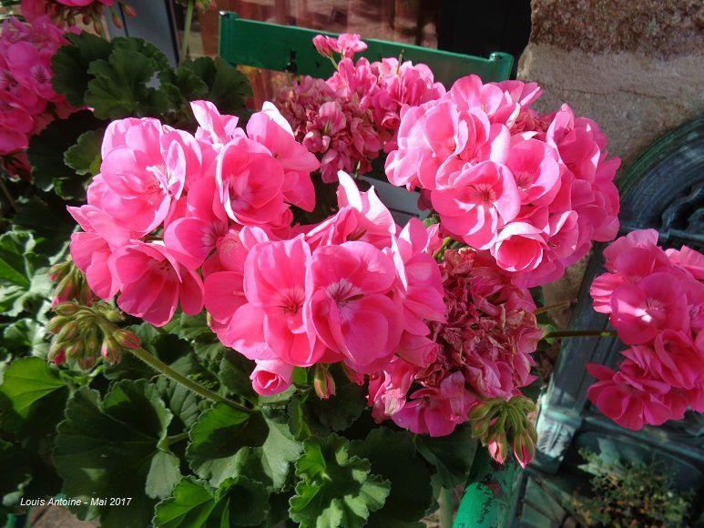 Ancolies - genêts - weigelia rose et rouge - Lupin - Cives - Bambou sacré - Clématite - iris - Azalées - Géranium