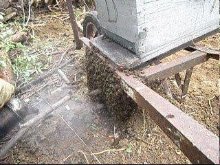 essaim Api4 rucher en Bourgogne