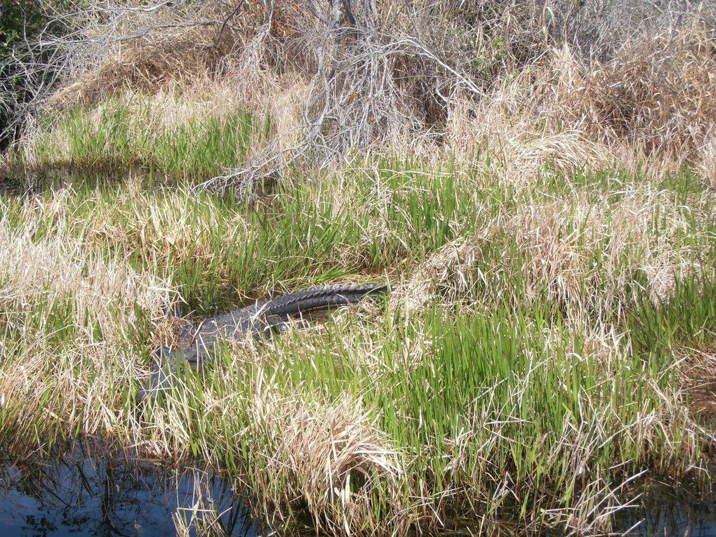 Le roi du lieu, c'est évidemment l'alligator ! Il passe une bonne partie de son temps à se prélasser au soleil. Elle est pas belle la vie ?