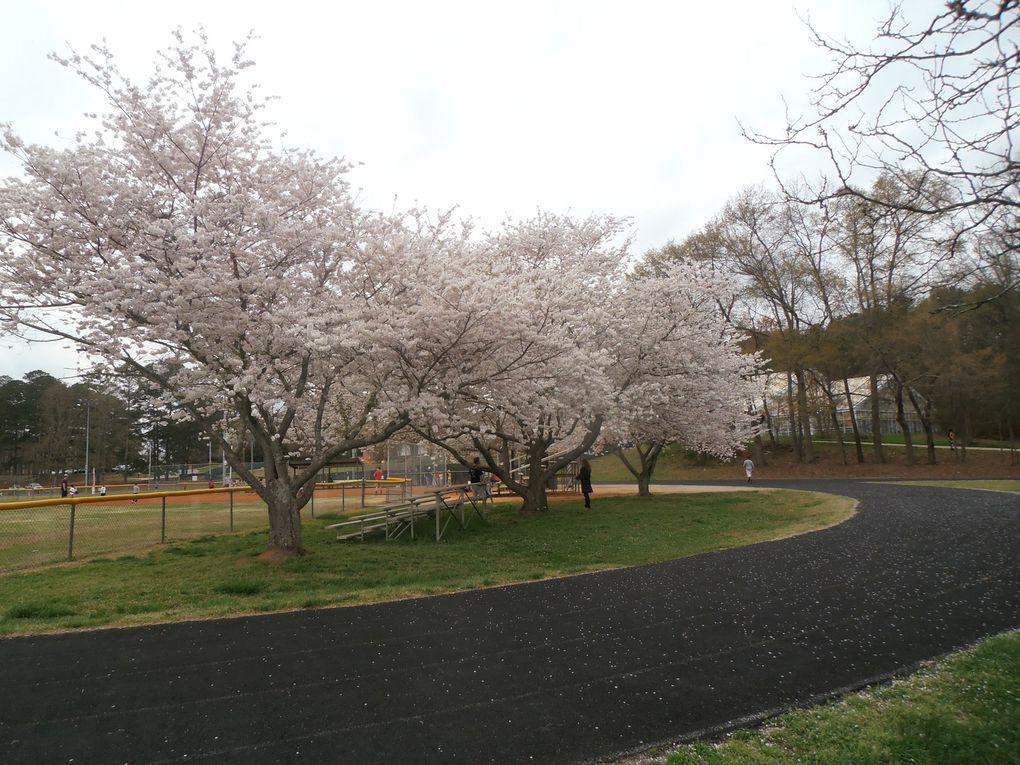 C'est le printemps ! Avec lui, la nature reverdit et les arbres sont couverts de fleurs comme les cerisiers par exemple.