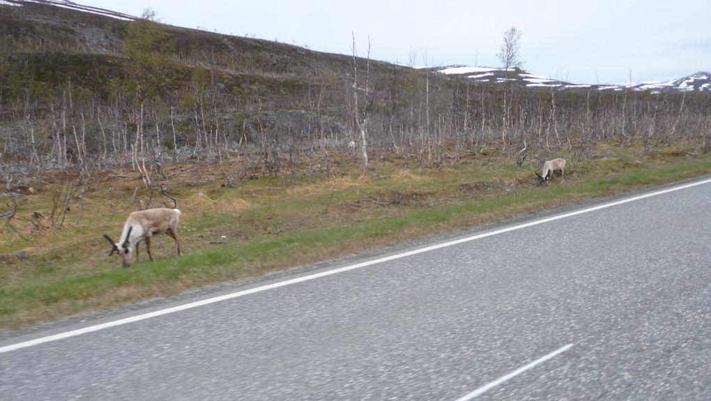 Quelques rennes.