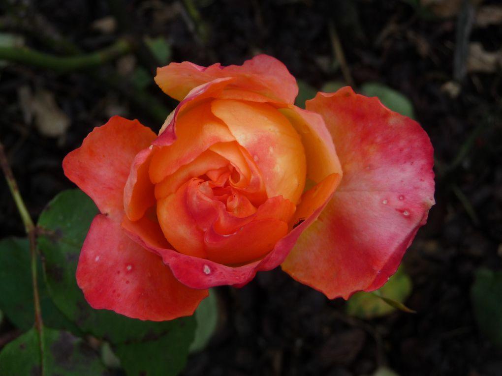 Des roses de toutes les couleurs.