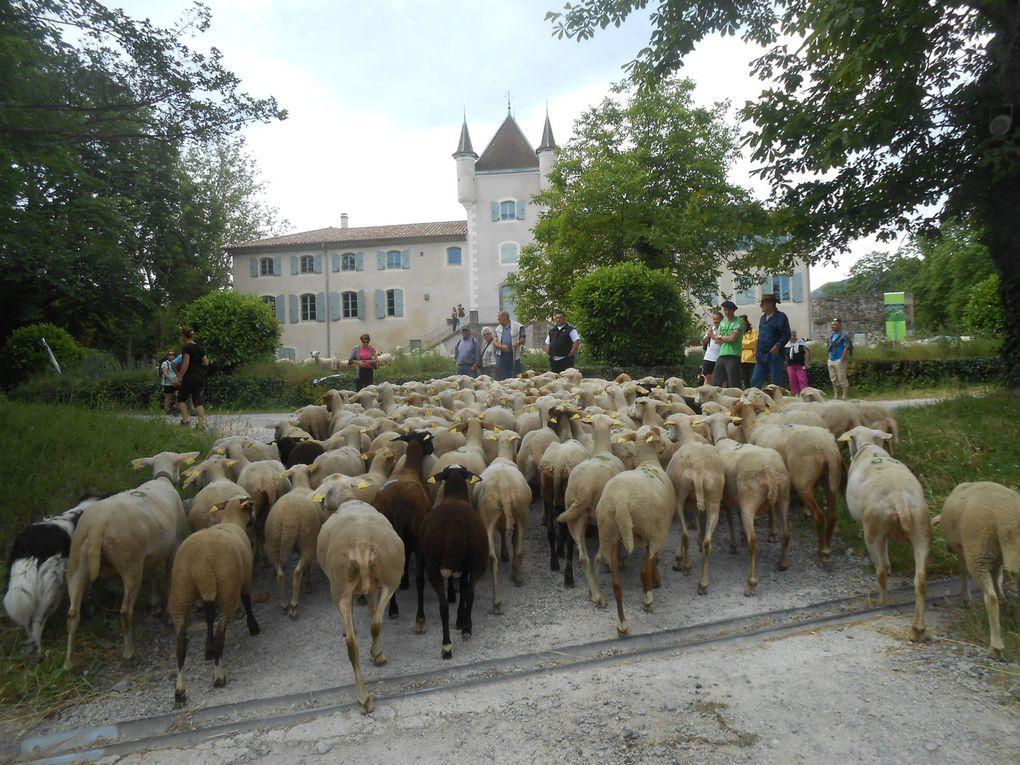 Le troupeau des Ollier du Fau, arrive à Rochemure