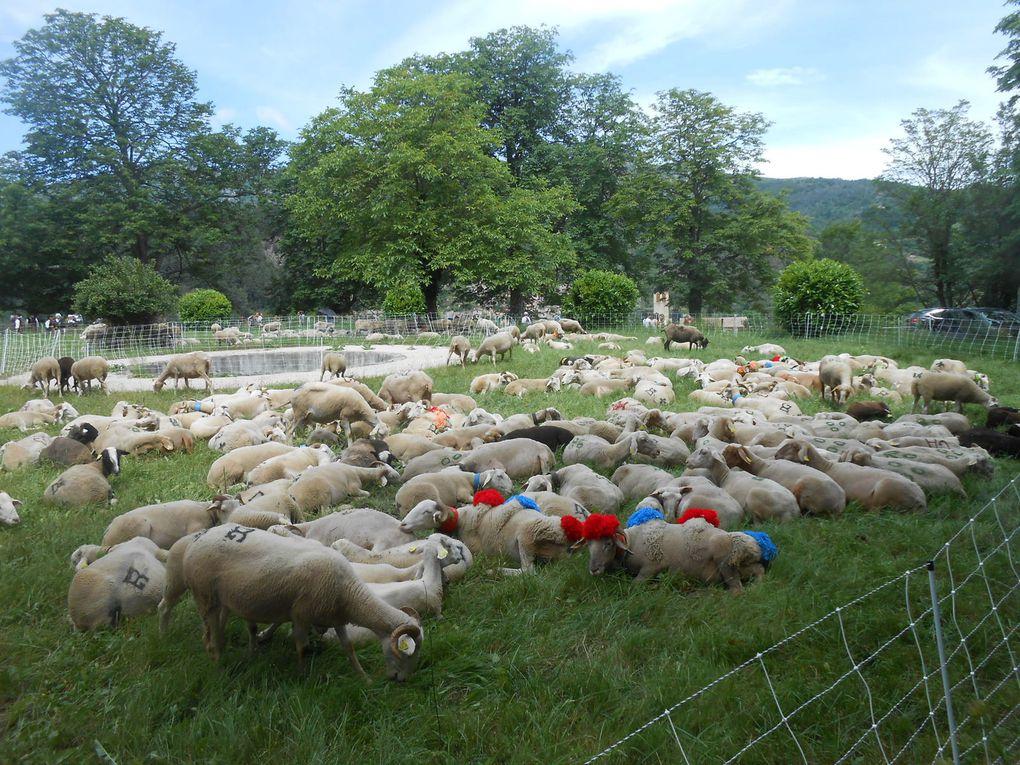 Aux alentours de midi, les brebis, en majorité, chôment: aux heures les plus chaudes de la journée, les brebis se reposent.