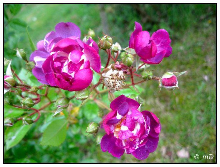 Clématites, jasmin et roses soupirent d'aise et offrent leurs étamines