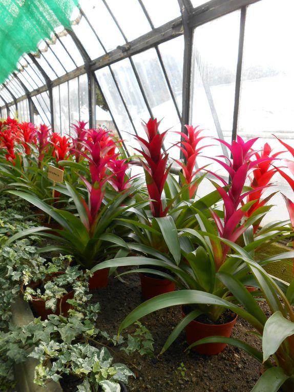 Guzmania - Palmiers Etc etc et les Violettes bien sûr: Plus de 130 variétés
