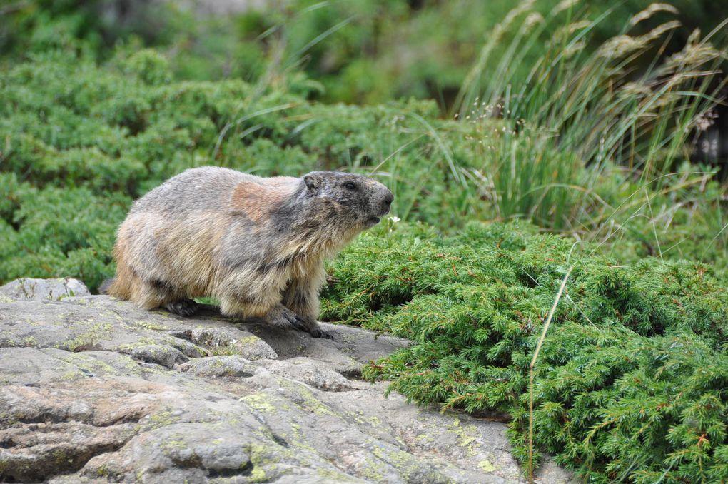 Des marmottes très curieuses