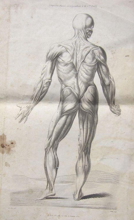 écorché d'un traité d' anatomie du XVIIème