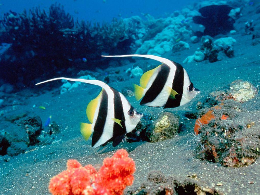 Poisson cocher. Il qui vit dans le Sud de la mer rouge, Océan Indien Océan Pacifique occidental. Dans le milieu naturel, les adultes peuvent atteindre 25 cm de long.