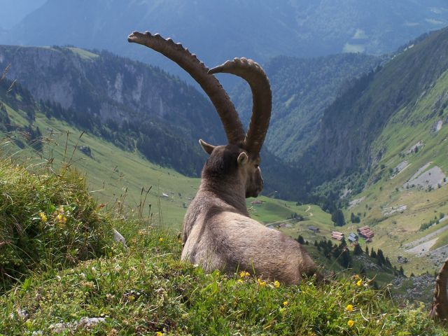 Parmi les mammifères qui peuplent le massif, les chamois, les mouflons, les marmottes, les chevreuils, loups et hermines.