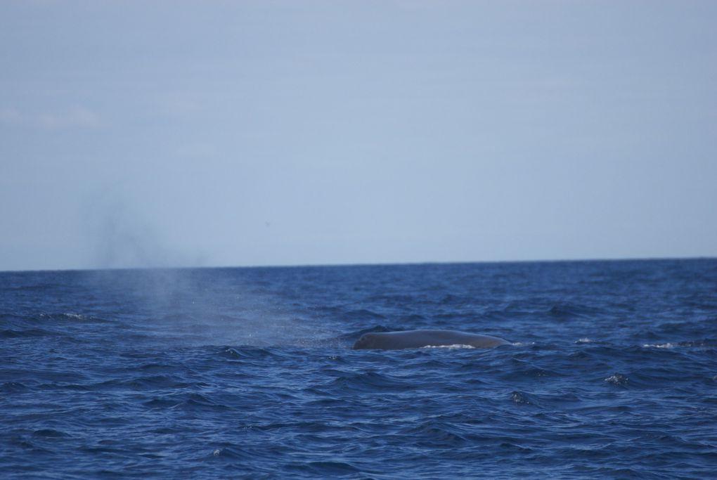 DIAPORAMA. Une fois à proximité du cachalot, nous pouvons l'observer plus ou moins longtemps, nous le voyons souffler en général plusieurs fois entre des plongées peu profondes puis il arque son dos et sa grande nageoire caudale sort de l'eau et s'élève majestueusement à la verticale avant de disparaitre sous la surface. C'est le moment tant attendu par tous tant ce spectacle est grandiose, inoubliable. Il s'en suit une grande plongée profonde pendant laquelle l'animal peut descendre jusqu'à près de deux mille mètres, oui, près de deux kilomètres sous la surface, pour aller se nourrir principalement de grands calmars. La durée de la plongée est en général au minimum de trente minutes pouvant aller au delà d'une heure.
