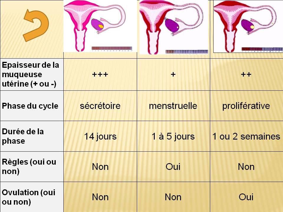 durée phase folliculaire