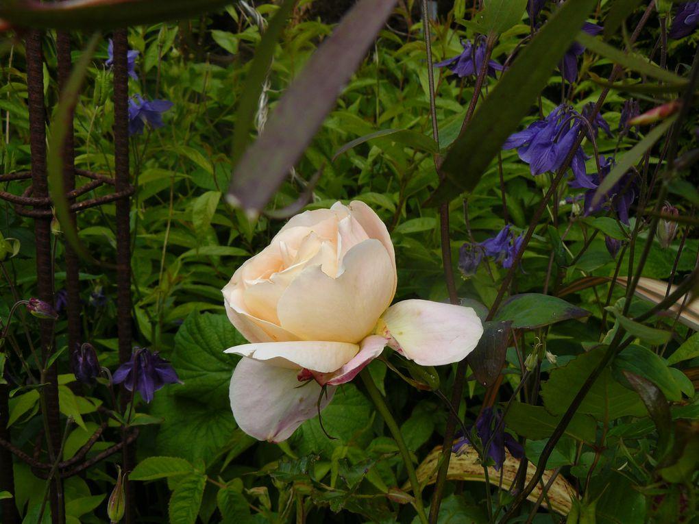 rose inconnue qui ne l'est plus grace à Maurizio, son nom est : Pink Cloud. Merci et anisade + Mme A Meilland + arum + iris de sibérie + Isabelle Autissier + libertia grandiflora + mauve (je pense)+ Molène)