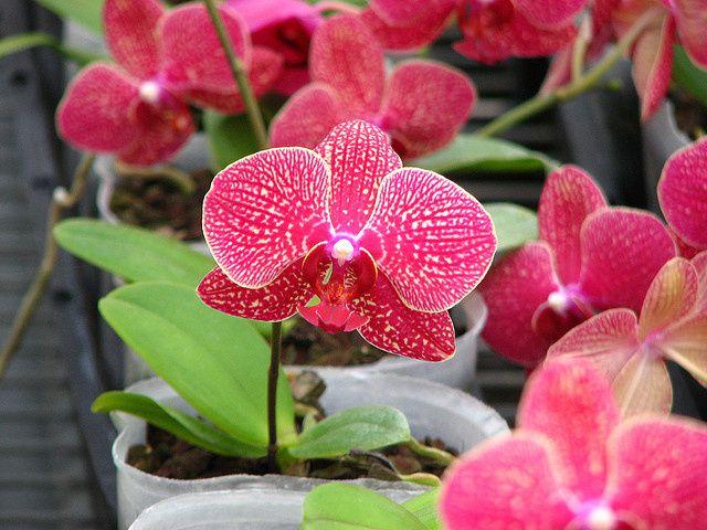 AU ROYAUME DES ORCHIDEES 金車蘭花園