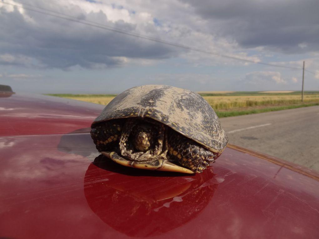 après la tortue, nous voyons un chien viverin !