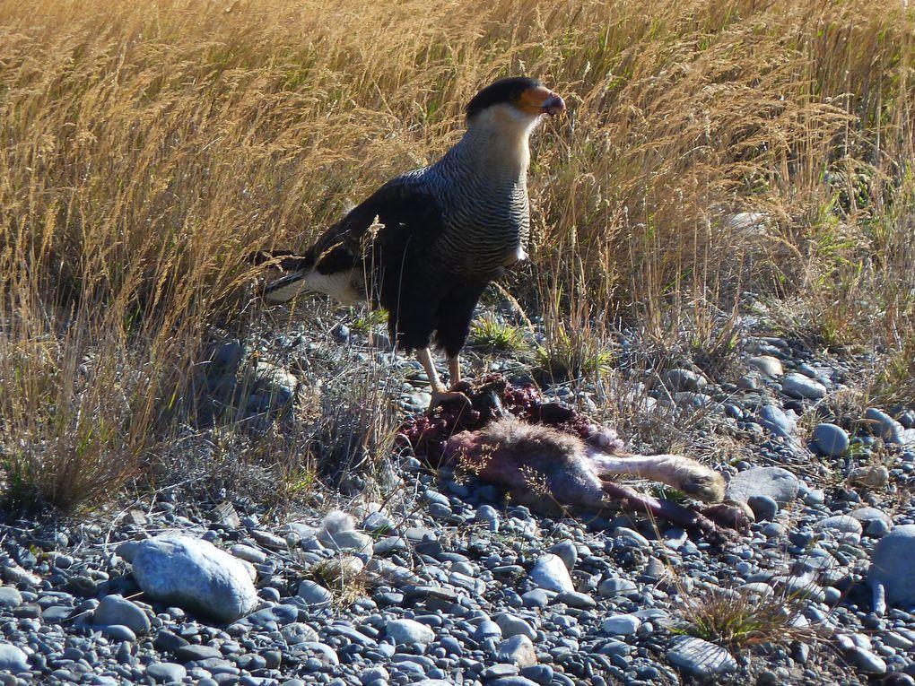 Condors des Andes (mythique!...) et autre rapace en plein repas!