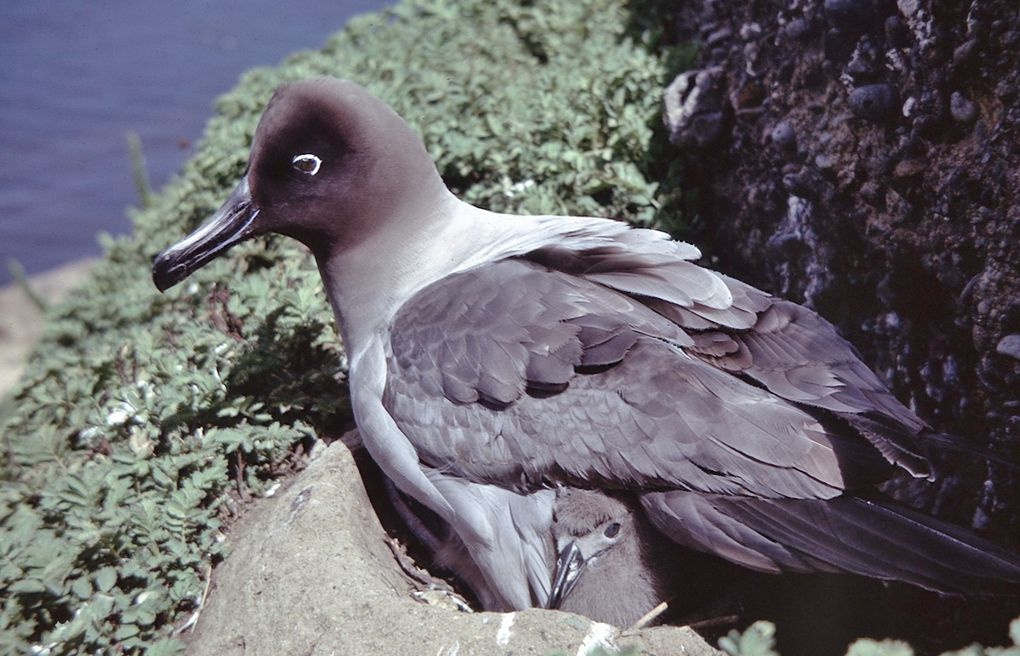 La naissance du poussin de l'albatros fuligineux.