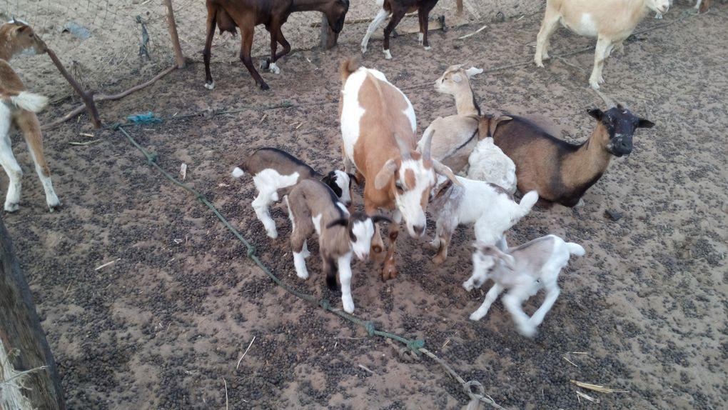 la traite et les chèvres