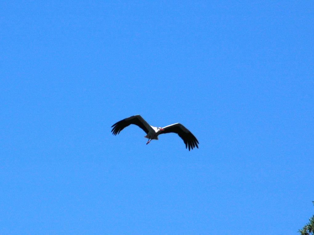 Sortie Nature Mercredi 4 mai &quot&#x3B;Cigogne blanche et papillons à Ludon-Médoc&quot&#x3B;