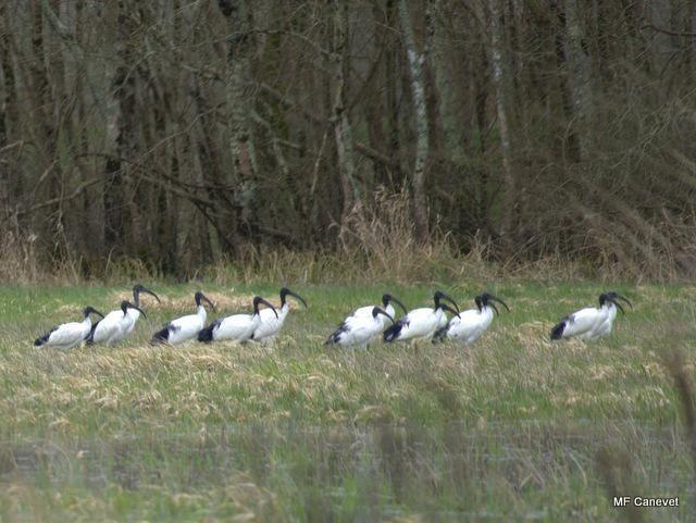 Sortie nature du 8 mars: découverte du Marais de La Vergne (Blayais), premiers migrateurs, premiers chants d'oiseaux, premières fleurs. Album de la sortie
