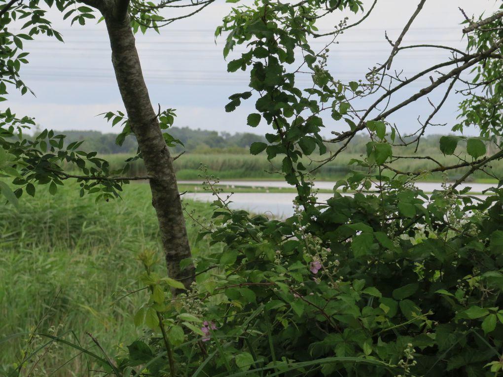 Sortie nature dans les marais de la Vergne (Blayais)  et son album - 2017/06/07