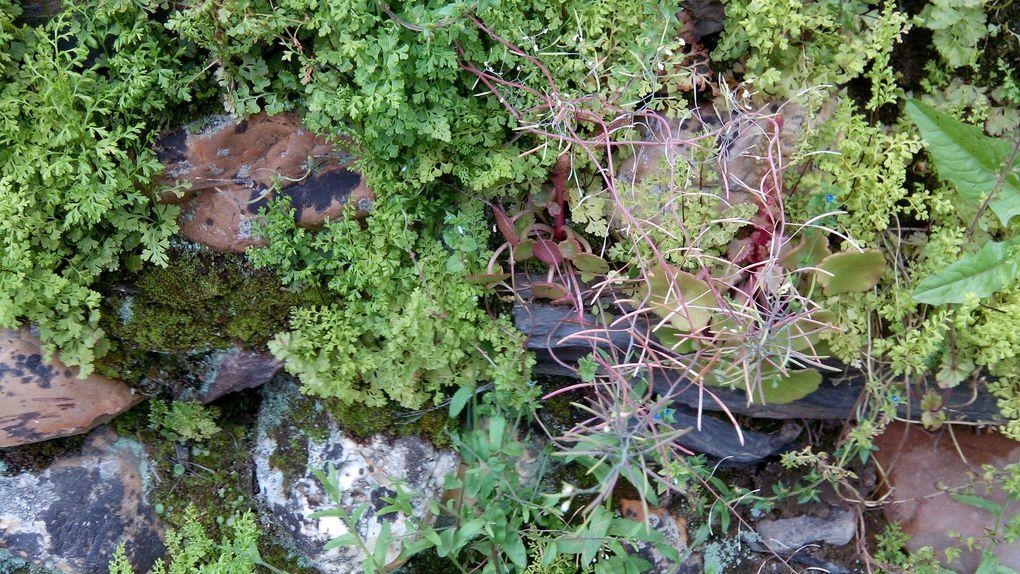 végétation des murs et rocailles