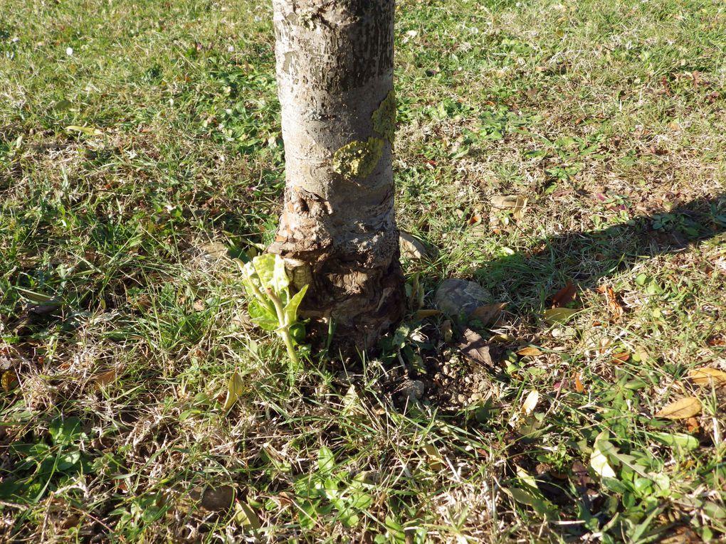 Les ravages du ROTOFIL au bas des troncs des arbres...