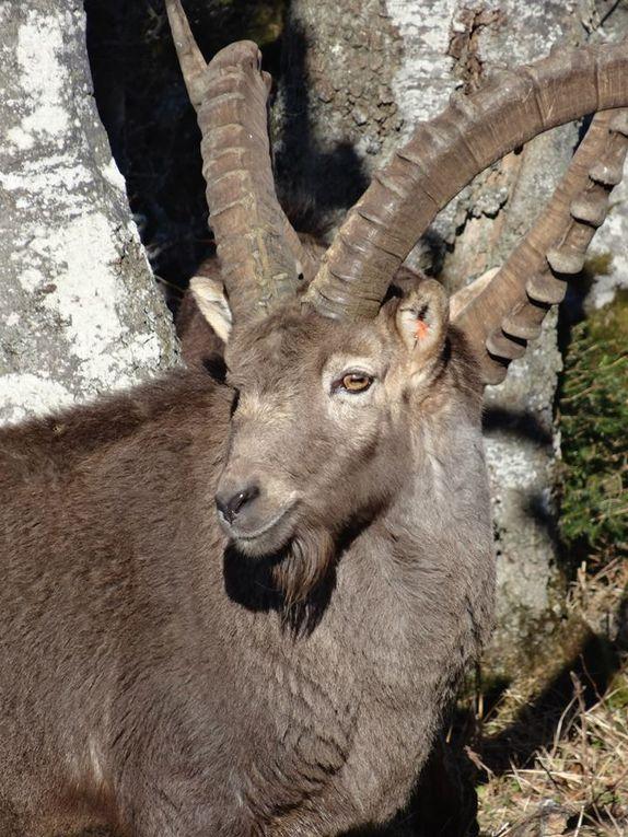 Randonnée : Les Bouquetins du Creux du Van - Jura Suisse