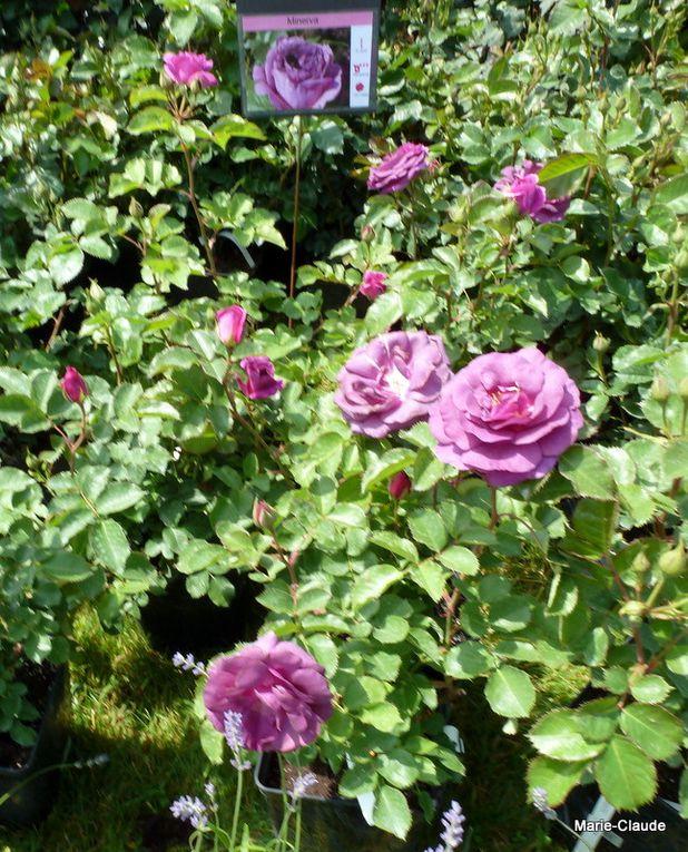 Des roses en pot,