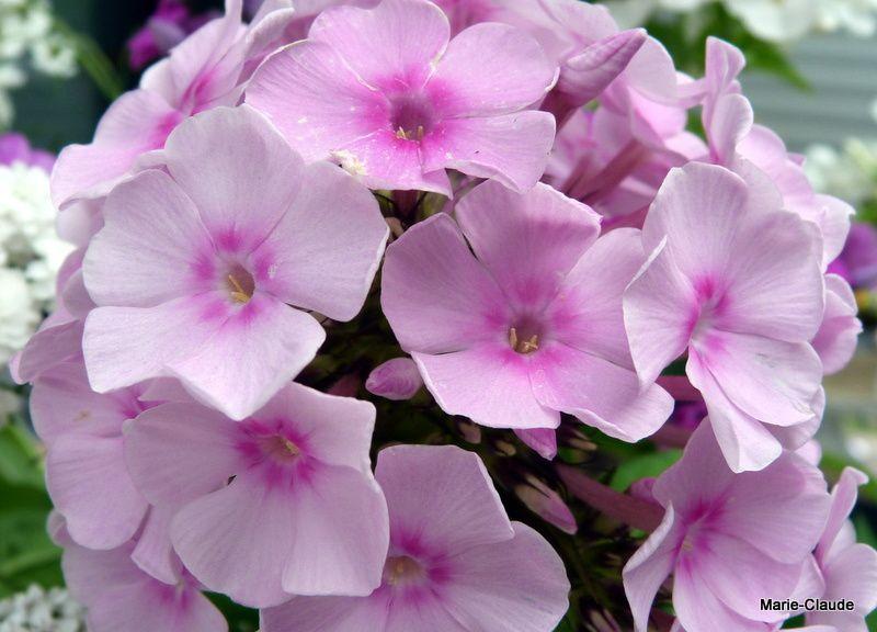 Les Phlox paniculata dans une gamme du rose parme au blanc, phlox qui quand on les arrose après fanaison peuvent refleurir en fin de saison.