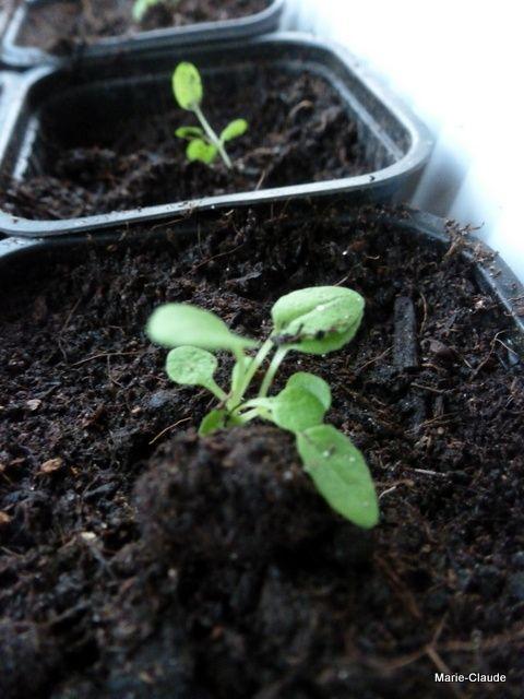 En tout onze variétés repiquées : Dahlia, Coreopsis rouge, Ancolies red-white, Cuphéa, Salvia Prewalski, Asperule orientalis, Thunbergia alata, Lychnis oculata, Nepeta sweet deam, verbascum album