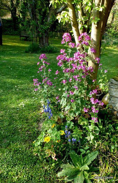 Un peu partout des Lunaria annua à la teinte vive, serait-ce une question de terre ou une variété différente ?
