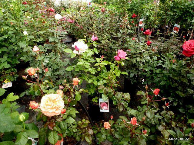 Cette année les rosiers prennent une large place de la première serre,