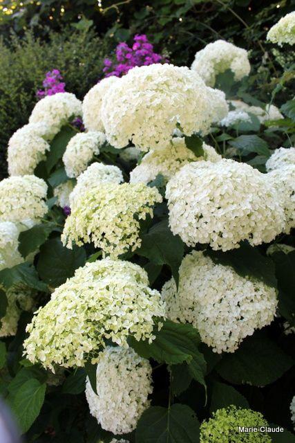 L'hydrangea très connu et résistant à tout &#x3B; Annabelle