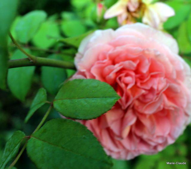 Des roses en août,