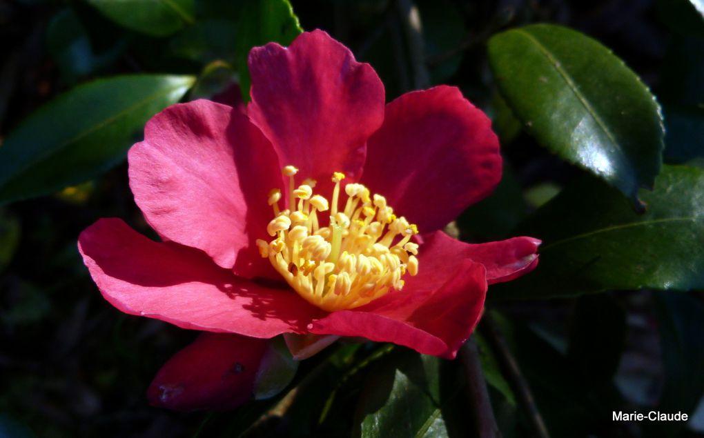 Camellia sasanqua, une fleur pour décembre,