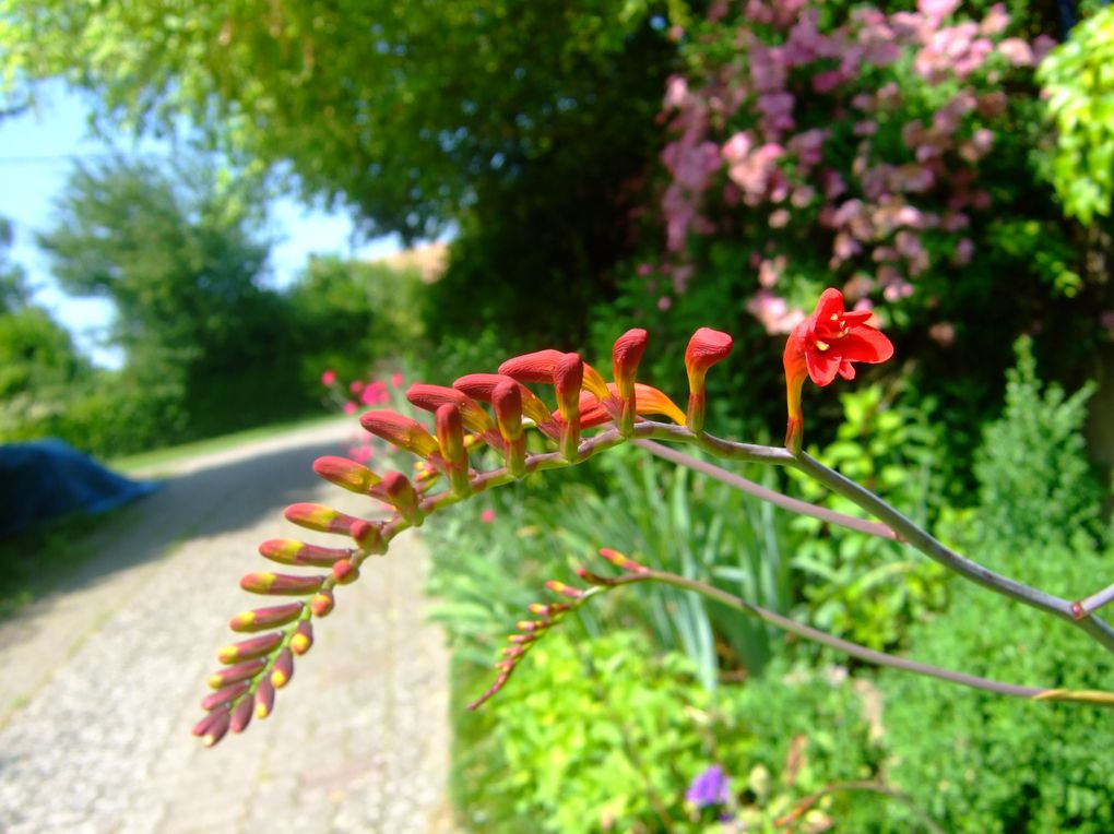 Crocosmia. Replantez l'année dernière, déplacez, elles étaient envahies par un miscanthus zébrinus, Je n'ai pas beaucoup de fleurs , je penses qu'il faudra du temps pour qu'elles se mettent en place.