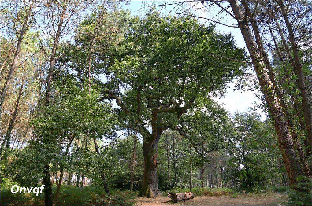 Chêne de Nerthe, Magescq (Landes 40) AA