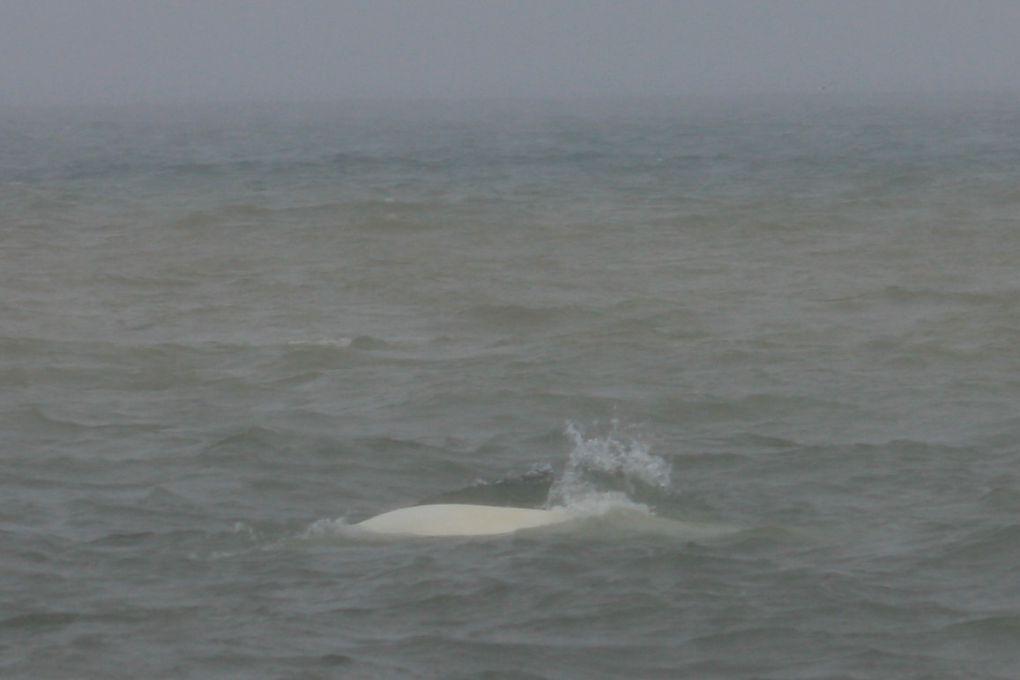 quelques spécimens d'un  troupeau de baleines blanches (ou bélougas)... malheureusement, vu les conditions météo, une couche d'eau de plusieurs mm s'est vite formée sur la lentille ! :(